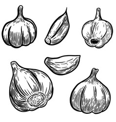 set of hand drawn garlic design elements for vector image
