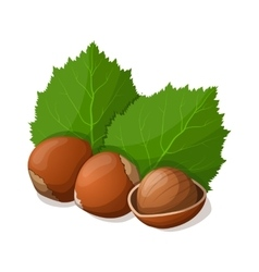Hazelnuts with leafs isolated on white vector image vector image