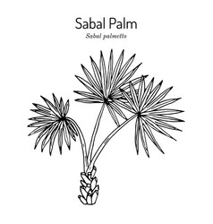 sabal palm or cabbage-palm palmetto vector image
