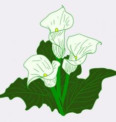 white callas vector image vector image