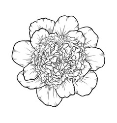 black and white peony isolated on background vector image
