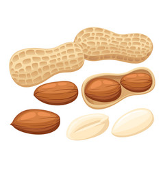 Set peanuts isolated on white background vector