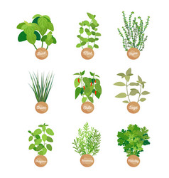 Basil and mint sage and chile spices collection vector