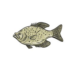 Crappie fish side drawing vector