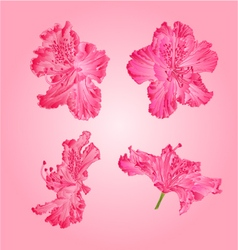 Pink rhododendrons flower Mountain shrub vector image