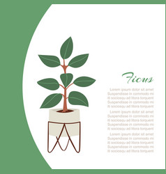 rubber plant pipal bay tree in pot vector image