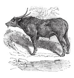 Water buffalo engraving vector