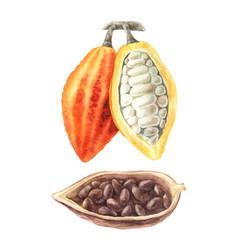 Watercolor cocoa beans vector