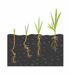 growth sprouts from seeds vector image