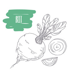 Hand drawn beetroot isolated on white vector