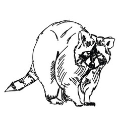 Racoon drawing on white background vector