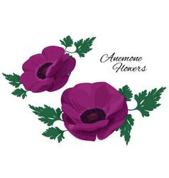 Violet anemone flower on white background single vector