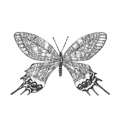 butterfly or wild moths insects bhutanitis vector image