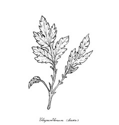 Hand drawn of chrysanthemum leaves on white backgr vector