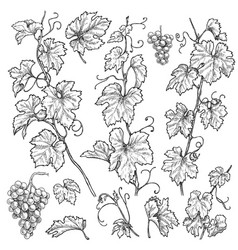 hand drawn grape branches set vector image