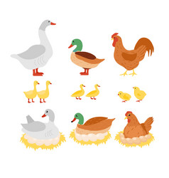 Set of poultry chicken hen vector