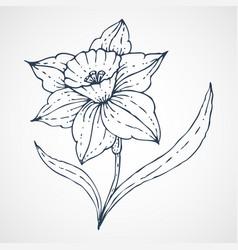 Daffodil hand drawn vector
