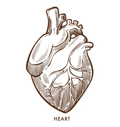 Heart isolated sketch cardiovascular system vector