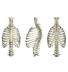Set with human ribcage and spine 3d front side vector
