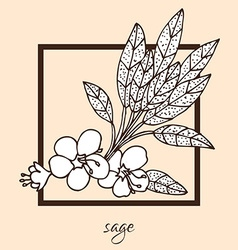 hand drawn sage vector image