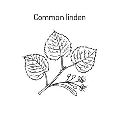 Linden branch with leaves and flowers vector
