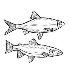hand drawn roach fish vector image vector image