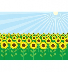 field of sunflowers vector image