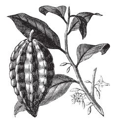 Cacao tree vintage engraving vector image