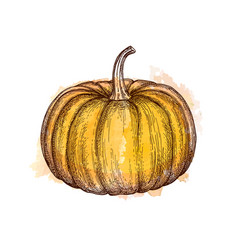ink sketch pumpkin vector image