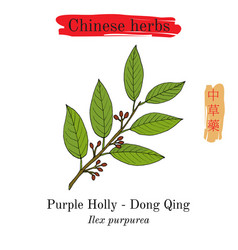 Medicinal herbs of china purple holly ilex vector