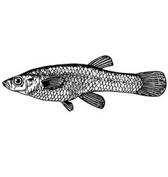 fish gambusia vector image