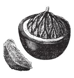 Brazil nut vintage engraving vector image