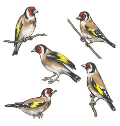 Hand drawn colorful goldfinch bird sketch vector