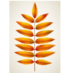 Single autumn rowan leaf vector