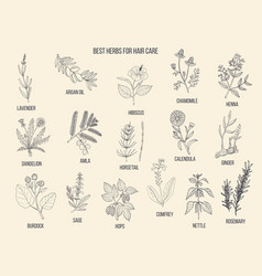 best medicinal herbs for hair care vector image