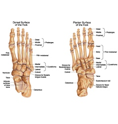 Human skeletal structure of the foot vector