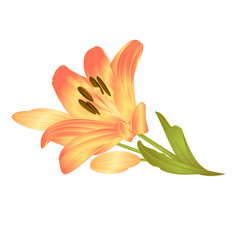 Yellow lily a yellow flower with leaves and buds vector