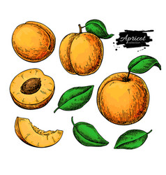 Apricot drawing set hand drawn fruit and vector