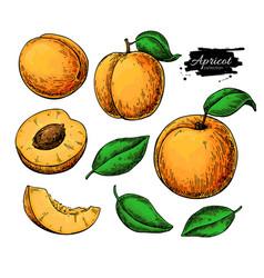 Apricot drawing set hand drawn fruit vector