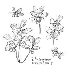 Ink wintergreen hand drawn sketch vector