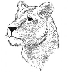 Vector face of a lioness vector