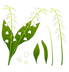 white lily of the valley isolated on white vector image