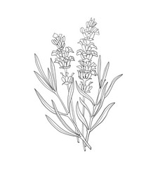 hand drawn botanical of lavender vector image