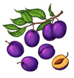 plum drawing set hand drawn fruit branch vector image