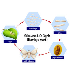 Silkworm life cycle diagram vector