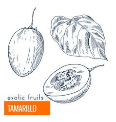 tamarillo hand drawn vector image