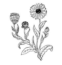 doodle calendula officinalis plants drawn contour vector image vector image