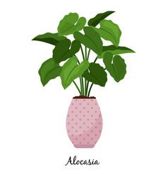 Alocasia plant in pot icon vector