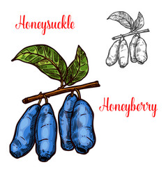 Honeysuckle sketch berry icon vector