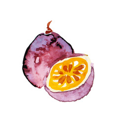 juicy ripe chrysophyllum fruit watercolor hand vector image